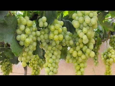 How to Care and Grow Grapes Plant at Home in Pot