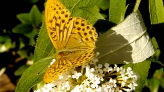 Silver-washed Fritillary (Argynnis paphia) on white Butterfly-Bush (Buddleja davidii)