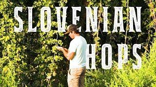 Harvesting Hops In Slovenia with Jeff Bradford