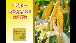 Кукуруза  Артуа 🌽 - описание гибрида 🌽, семена в Украине