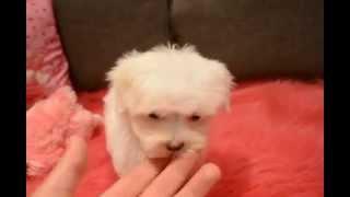 Female Teacup Maltese Puppy