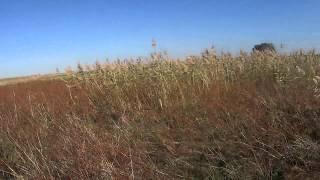 Эпаньол бретон Аллигатор Таганрог(Охота на фазана 11.10.2014., 2014-11-14T22:25:01.000Z)