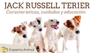 El perro jack russell terrier