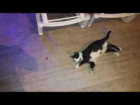 Cat playing with cockroach