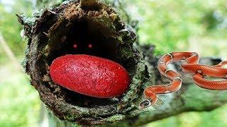 Tìm Thấy Quả Trứng Màu Đỏ Kỳ Lạ & Quý Hiếm Trong Hốc Cây Khô.Amazing ASMR Red egg underground