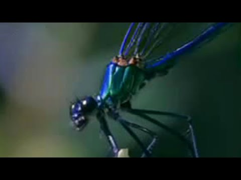 Damselfly: A Battle for Paternity - Battle of the Animal Sexes - BBC