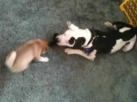 Puppy Tug Of War Shiba Inu Vs American Bull Pitbull Mix