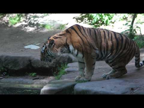 Tiger roar (호랑이 어흥 어흥)