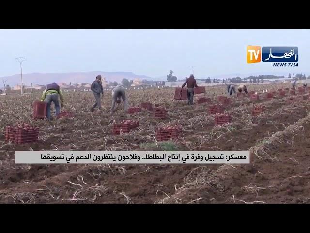 تسجيل وفرة في إنتاج البطاطا بولاية معسكر...