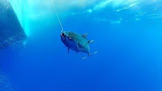 catching 150 lbs bigeye ahi tuna south of hawaii