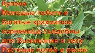 Купена Молодые побеги и богатые крахмалом корневища съедобны Растение полей и лесов