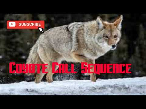 Coyote Hunting Call Sequence #2 - Free Download