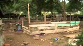 Environnement: élevage de porcs à la corniche