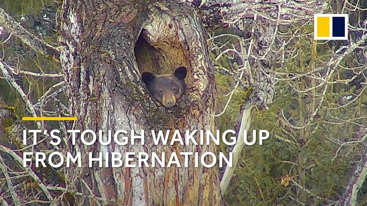 It's not easy for a black bear to wake up from hibernation - YouTube