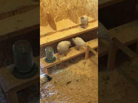 Вопрос: Можно ли содержать индюшат в одном загоне с цыплятами?