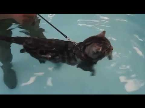 most funny cats love swimming