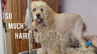 Cute Cocker spaniel | Matted Dog Transformation