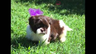 Havanese Shihtzu Hybrids..these Babies Are Too Cute!!