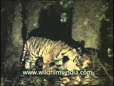 Mother tigress eating prey with her cub - Shot through night vision camera