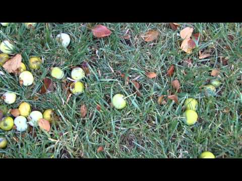 How to Clean Up Crab Apples