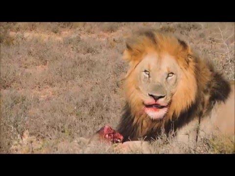 Lion bites off Warthogs head
