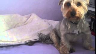 Yorkshire Terrier, Tizzy,what Is This Lump In The Bed, Chanel Bridget