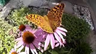 Бабочка на эхинацее