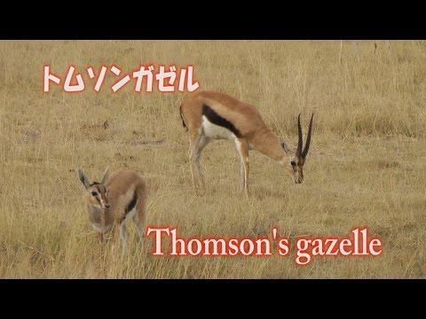 トムソンガゼル Thomson's gazelle アフリカ サファリ ケニア Africa Kenya Safari