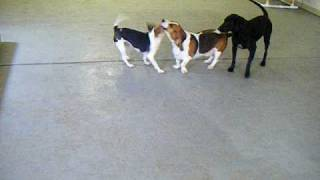 Basset Hound And Beagle Wrestling