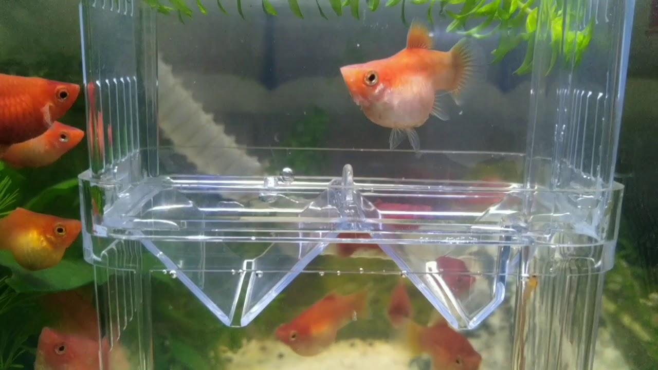 紅球魚連續生產實況 - YouTube