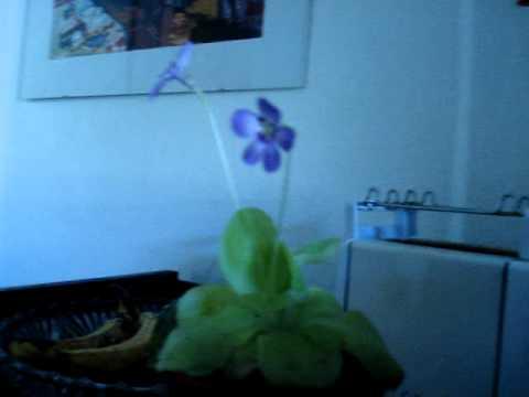 Жирянка - Насекомоядные растения.