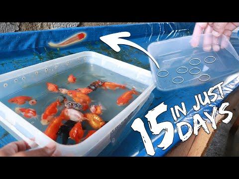 BETTA FISH First Feeding