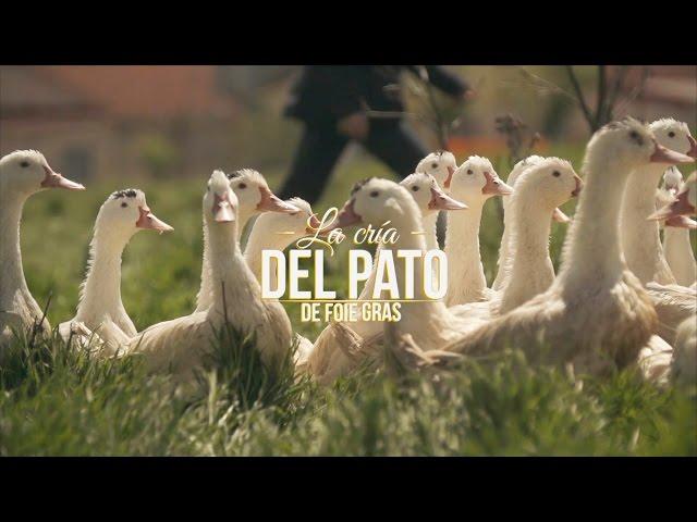 La cría del pato de Foie gras
