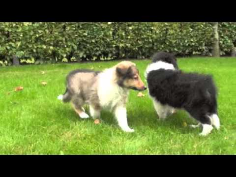 Schotse collie pups te koop youtube - Te koop ...
