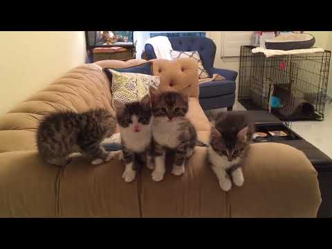 Kittens meowing for food