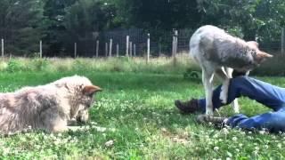 Wolfdogs Naiche and Chante
