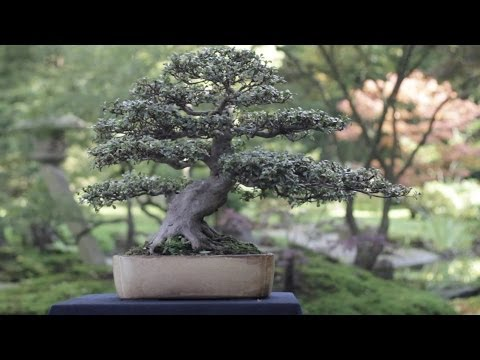 Care Guide For The Azalea Bonsai Tree Rhododendron Bonsai Empire