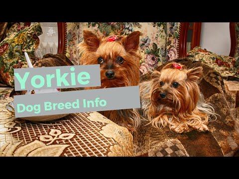 Yorkshire Terrier Dog Breed Information