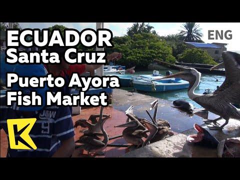 【K】Ecuador Travel-Santa Cruz[에콰도르 여행-산타크루즈]푸에르토 아요라 어시장/Santa Cruz/Puerto Ayora Fish Market/Pelican