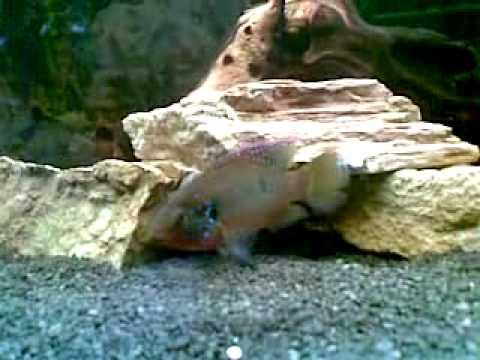 giant gourami, jewel cichlids, golden severums, fire eel + more