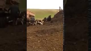 В Лениногорском районе живых коров вывалили, как мусор