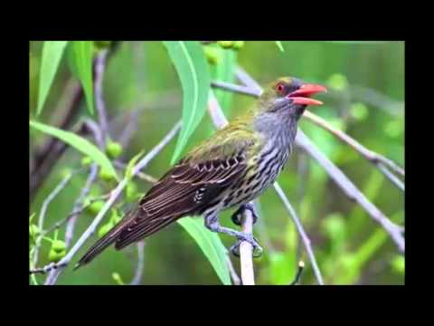 Kicauan Kepodang Zaitun Komunitas Pencinta Burung