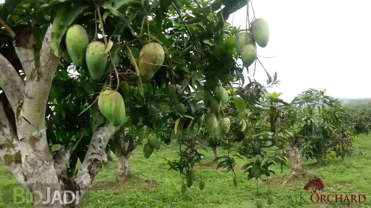Mango Tree Not Producing Fruit Part - 43: Mango - Organically Grown @ MK Orchard - YouTube