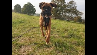 Teddy the 8 Month Old Boxer - 4 Weeks Dog Boot Camp