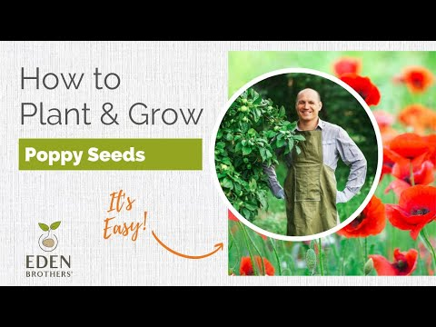 Tips For Planting And Growing Poppy
