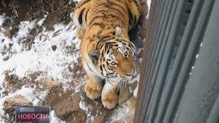 Госпитализация тигра. Новости. GuberniaTV