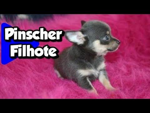 Pinscher Filhote Muito Fofo Nick Youtube