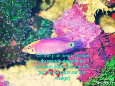 Le plus beau poisson du monde youtube for Le plus beau coq du monde