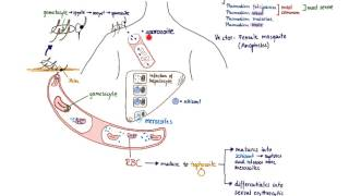 Brandl's Bascis: Malaria life cycle