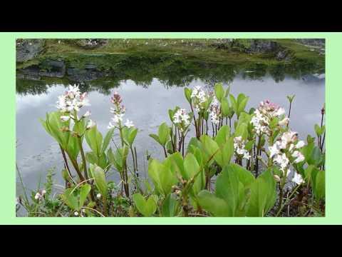 Трилистник болотный или водяной